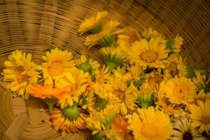 blood cleansing herbs: calendula