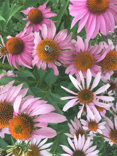 Examples of plants used for medicine: Echinacea