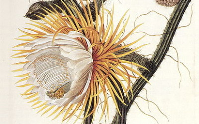 The Medicinal Benefits of Night-Blooming Cereus Cactus