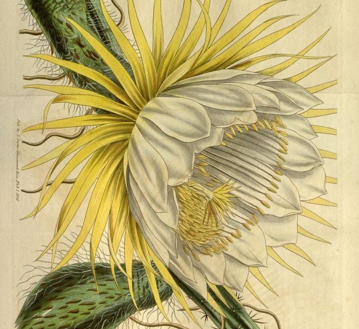 Wildcrafting Night-Blooming Cereus Cactus