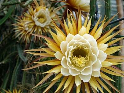 Winter Wildcrafting in Florida: Cactus Medicine