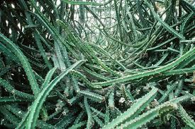 cactus, night blooming cereus