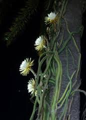 cactus, night blooming cereus flowers & cactus
