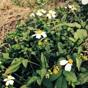 Bidens in Flower