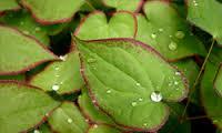 epimedium leaf image