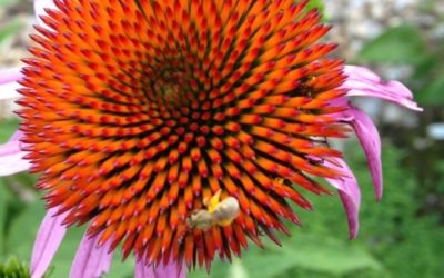 What is Echinacea Good For? Immune Stimulation, Among Others