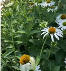 Echinacea Uses and an Herb Walk Where The Plant is Displayed