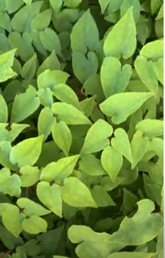 Epimedium Benefits are Significantly Greater Than People Realize